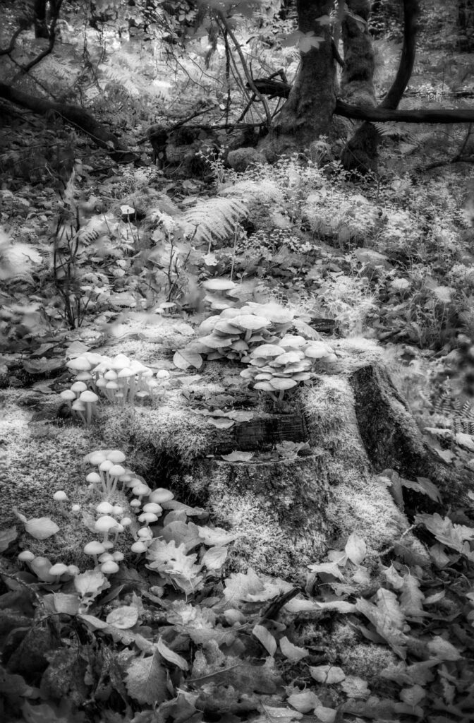 infrared conversion photo by Mystical mushrooms
